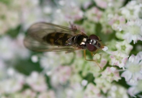 Flower Fly - Melanostoma mellinum