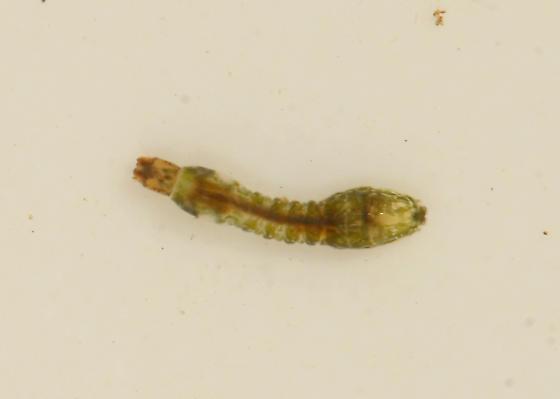 Diptera: Simuliidae: Simulium fibrinflatum - Simulium fibrinflatum