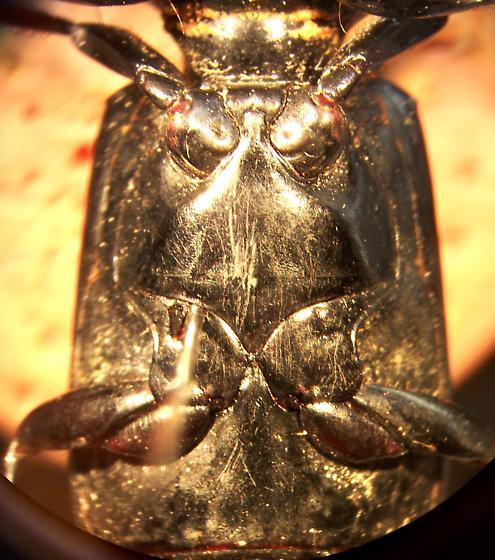 Scarites quadriceps Chaudoir - Scarites quadriceps