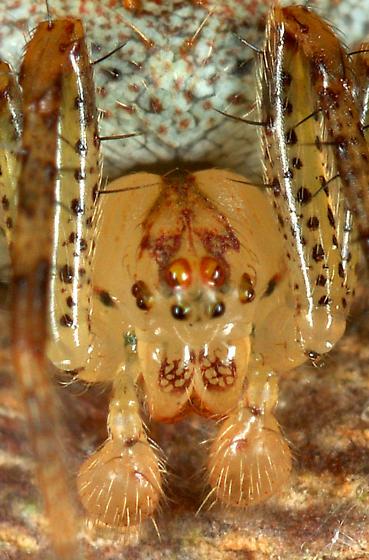 Immature Male Eating Winged Insect - Araneus miniatus - male