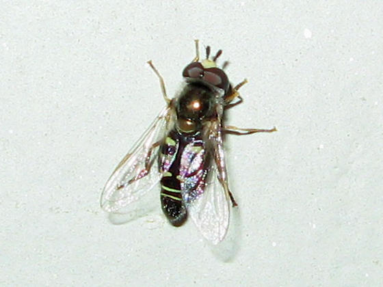 Syrphid Fly ID? - Eupeodes volucris - male