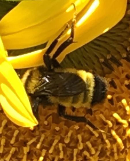 Bumble bee - Bombus sonorus