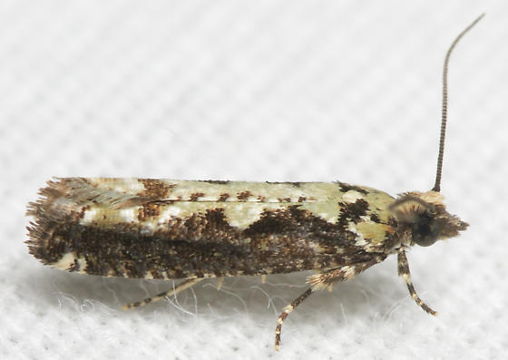 Green vase moth - Chimoptesis pennsylvaniana