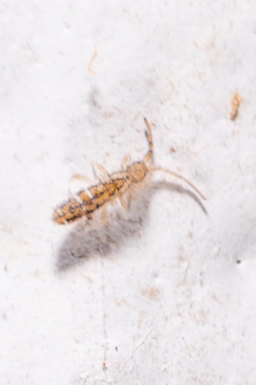 Collembola? Orchesella texensis? - Orchesella texensis