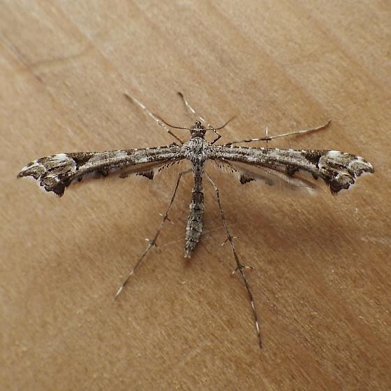 Pterophoridae: Amblyptilia pica? - Amblyptilia