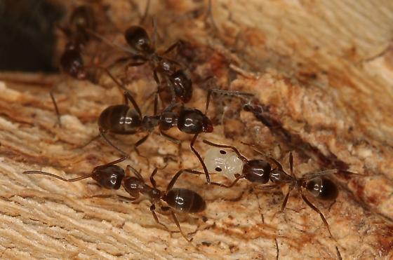 Unwilling Ant Farm - Linepithema humile - female