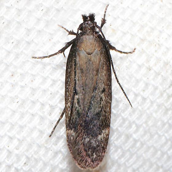 Gelechia albisparsella