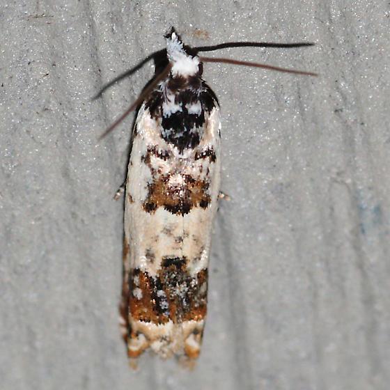 Phaneta ornatula (Heinrich) - Hodges #2951 - Eucosma ornatula