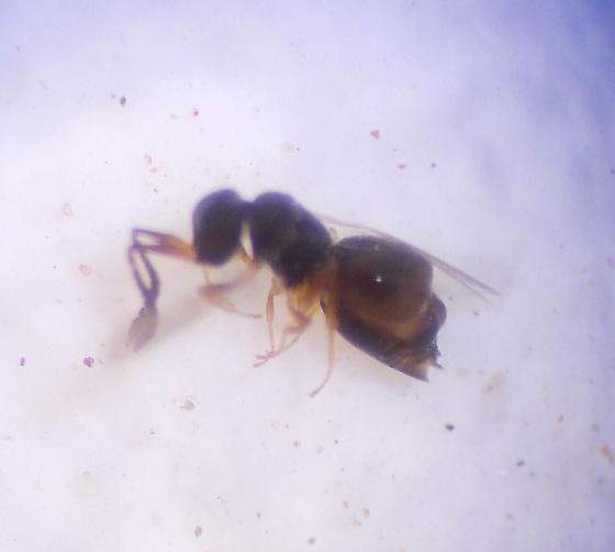 Parasitic wasp 9