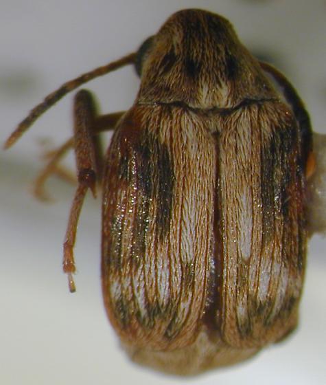 Callosobruchus phaseoli