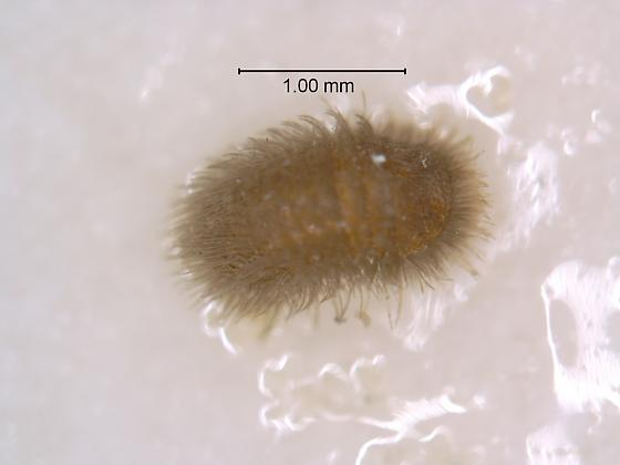 common carpet beetle. Anthrenus scrophulariae ( common carpet beetle) larva?