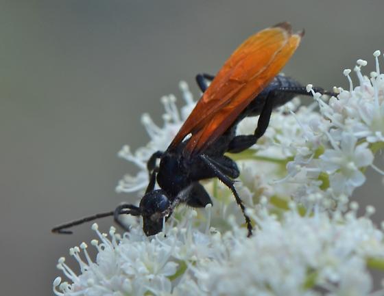 Wasp ? - Calopompilus pyrrhomelas