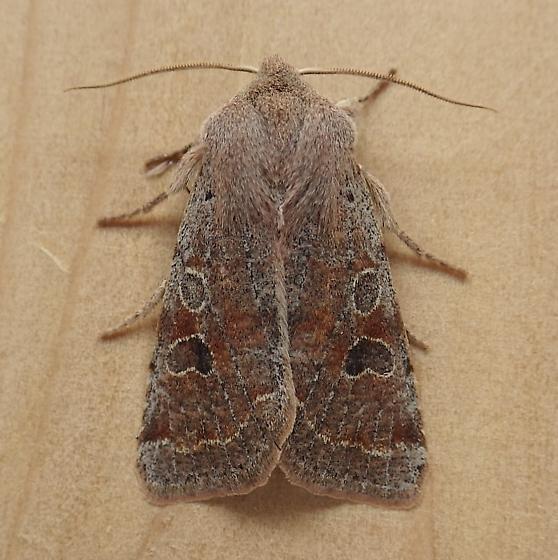 Noctuidae: Orthosia hibisci - Orthosia hibisci