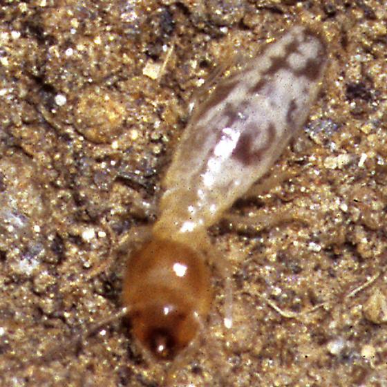 Isoptera, possibly Subterranean termites? - Gnathamitermes