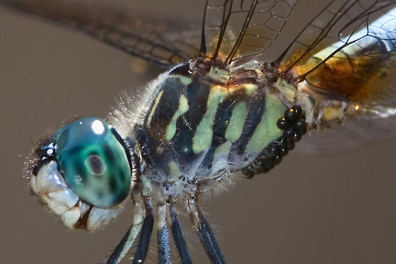blue dasher with mites? - Pachydiplax longipennis - male
