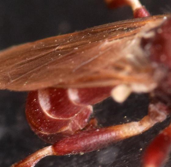 thick-headed fly - Myopa clausa - male