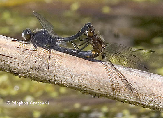 Dot-Tailed Wheel - Leucorrhinia intacta - male - female
