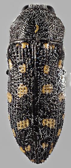 Acmaeodera pinalorum