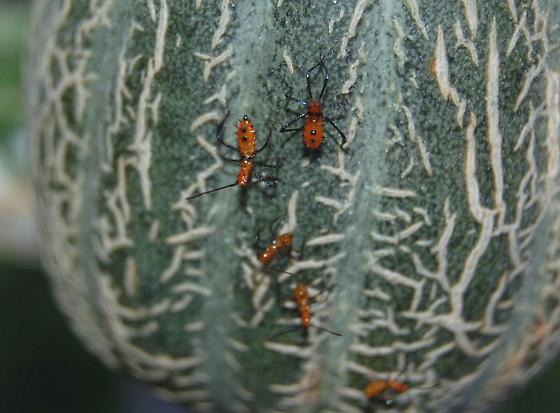 red bug with 6 black legs on canteloupe and cactus, 2 or 3 black spots on back