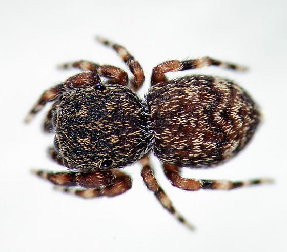 Attidops cutleri - dorsal - Attidops cutleri - female