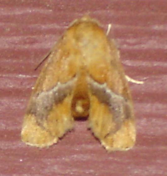 Rusty Moth - Lithacodes fasciola