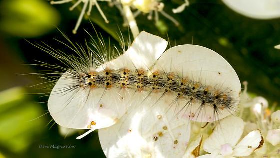 Caterpillar - Hyphantria cunea
