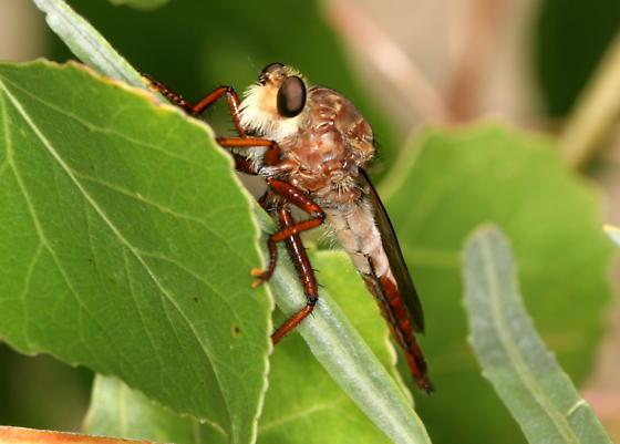 Rob2 - Proctacanthus rufus - female