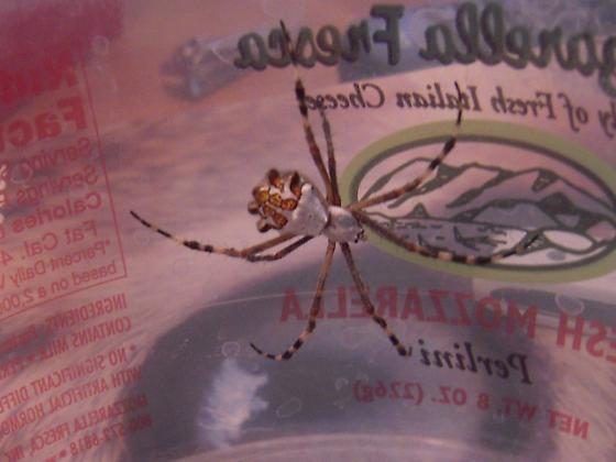 Silver Colored Spider - Argiope argentata