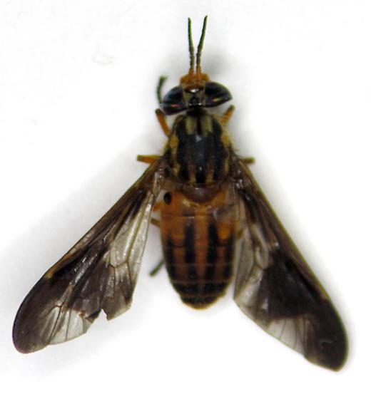 Chrysops - Chrysops vittatus - female