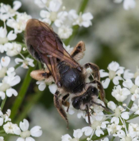 Colletes inaequalis? - Andrena crataegi