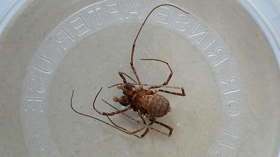 Unknown spider in Bear Valley Springs California - Protolophus