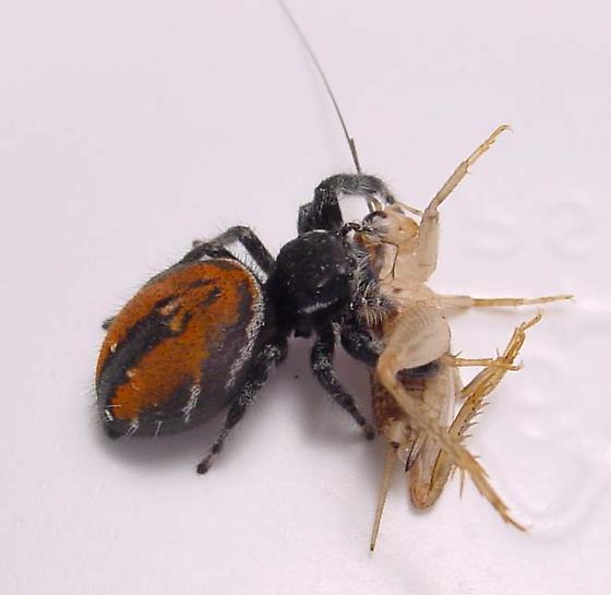Phidippus Carneus - Phidippus carneus - female