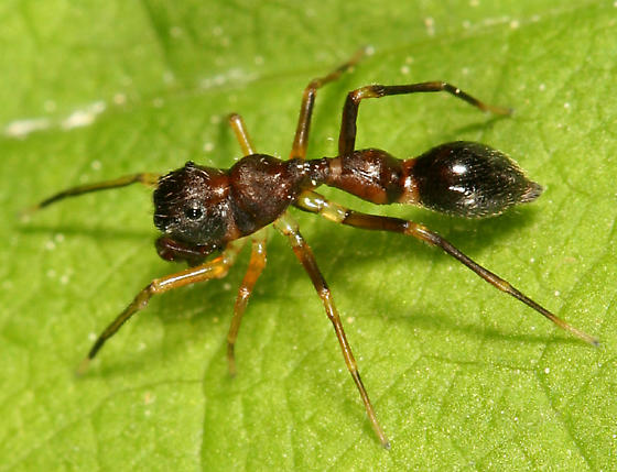 Ant-mimic spider - Synemosyna formica
