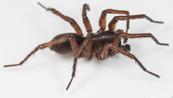 Spider - Wadotes hybridus - male