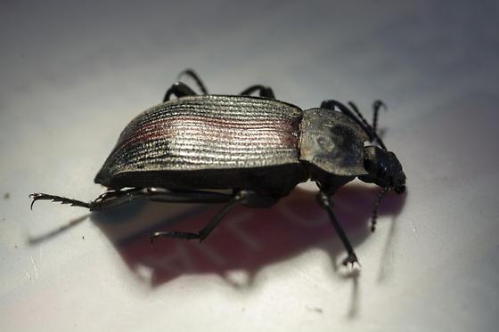 ground beetle? - Eleodes suturalis