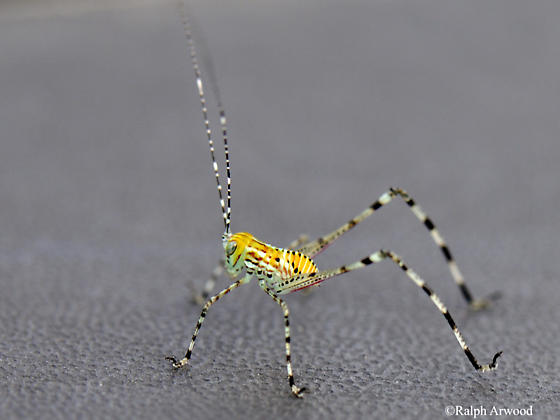Unknown grasshopper/cricket spp. Big Cypress National Preserve, SW FL USA - Stilpnochlora couloniana