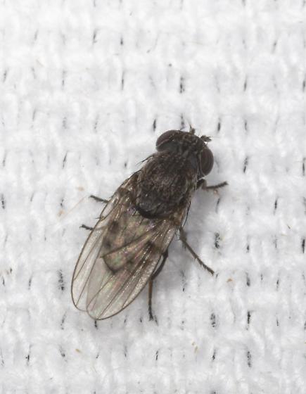 Fly at Lights at Allen Acres - Paralimna punctipennis
