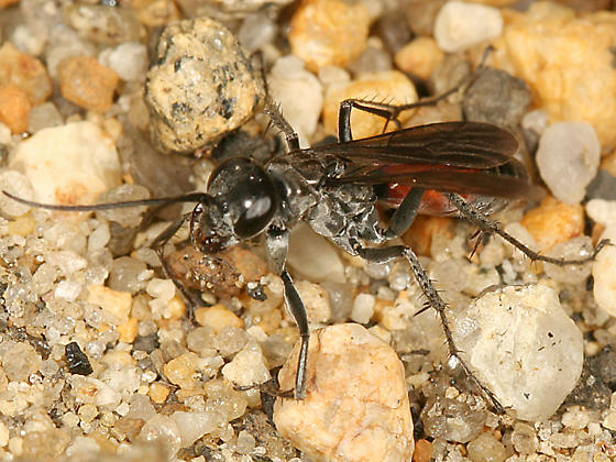 spider wasp - Anoplius semirufus