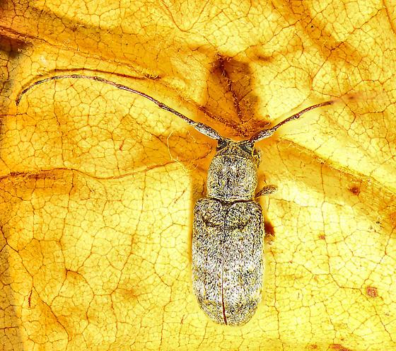 Beetle from UV trap - Ecyrus dasycerus