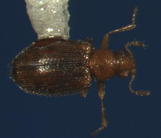 Coleoptera - Melanophthalma pumila