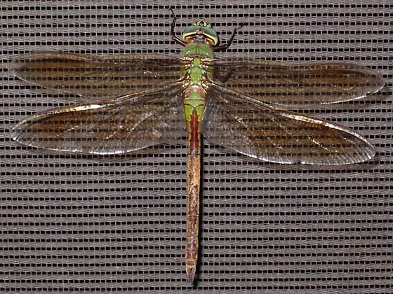 Huge dragonfly... - Anax junius
