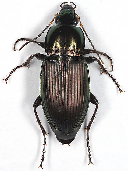Woodland Ground Beetle - Poecilus lucublandus