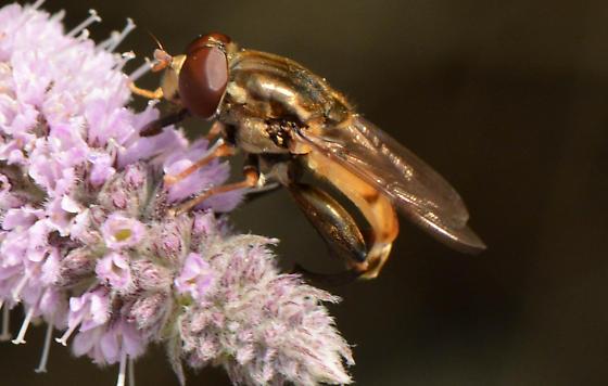 golden syrphid fly - Tropidia quadrata - male