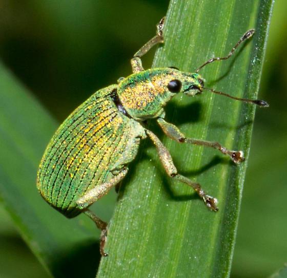 Unidentified Weevil - Polydrusus formosus