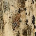 Ectopsocus californicus  - Ectopsocus californicus - female