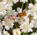 Little *Wasp* ID Request - Megastigmus - male