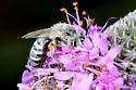 Bee - Colletes susannae - female