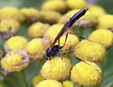 Wasp on Tansy