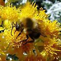 Bee - Bombus melanopygus