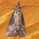 Unidentified Moth E-20150603 - Hypena scabra